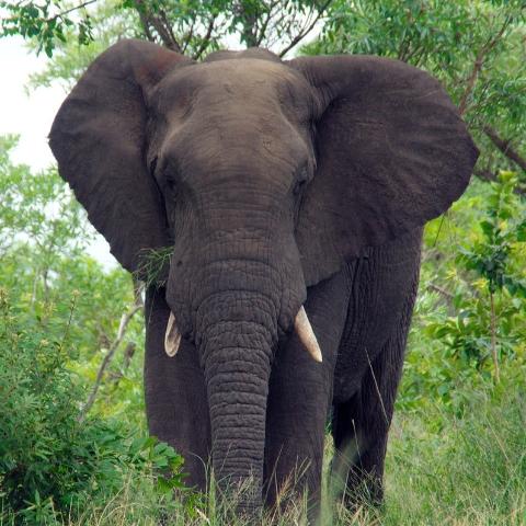 BIgfive_Kruger_Park_elephant