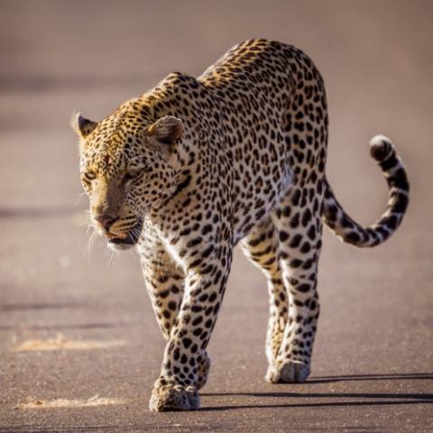 BIgfive_Kruger_Park_rhinos