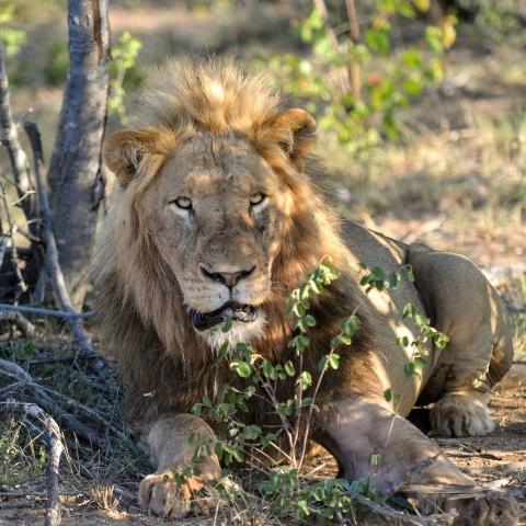BIgfive_Kruger_Park_lion