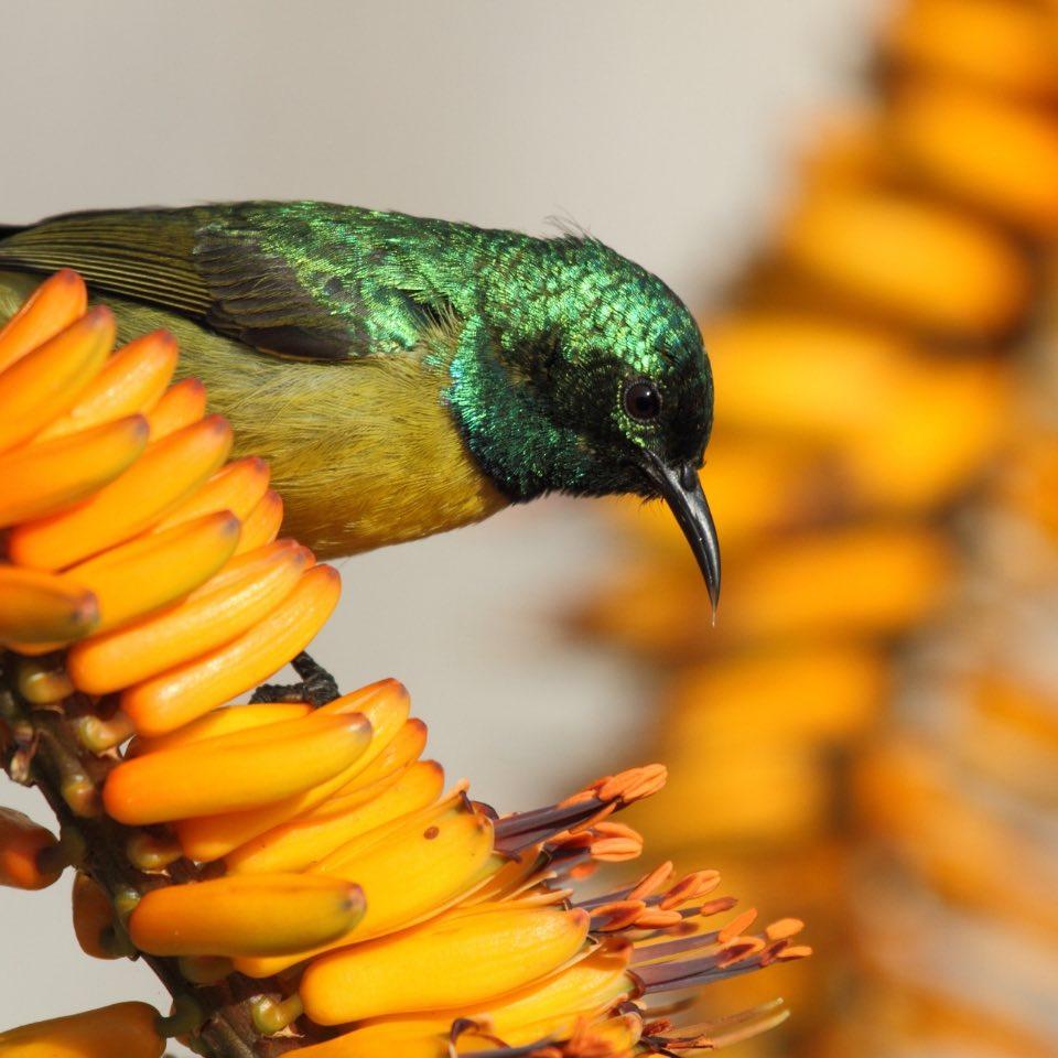 Birding_Muluwa_SouthAfrica_collared_sunbird