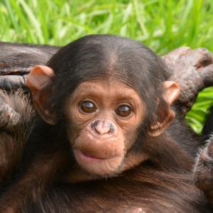 Baby_amari_Chimp_Eden
