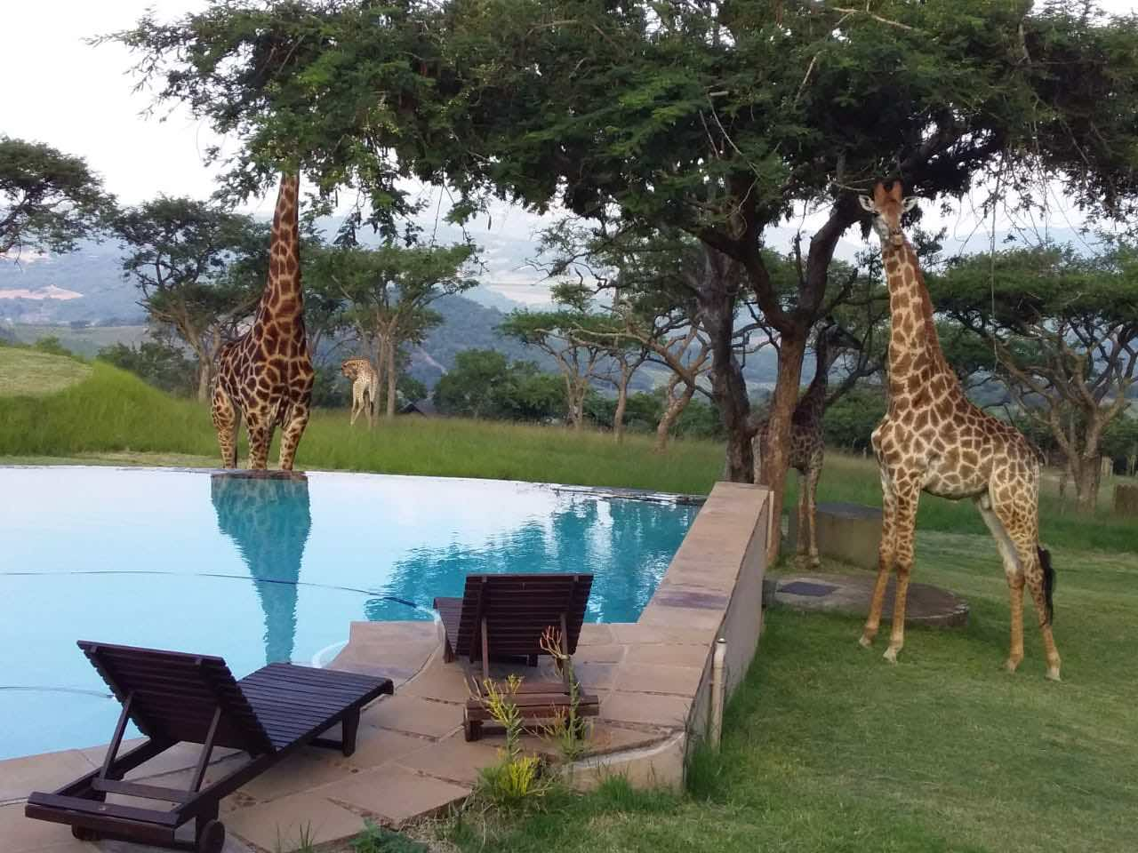 Giraffe_Muluwa_poolside_3