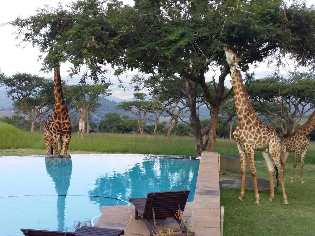 Giraffe__Muluwa_Whiteriver_ poolside