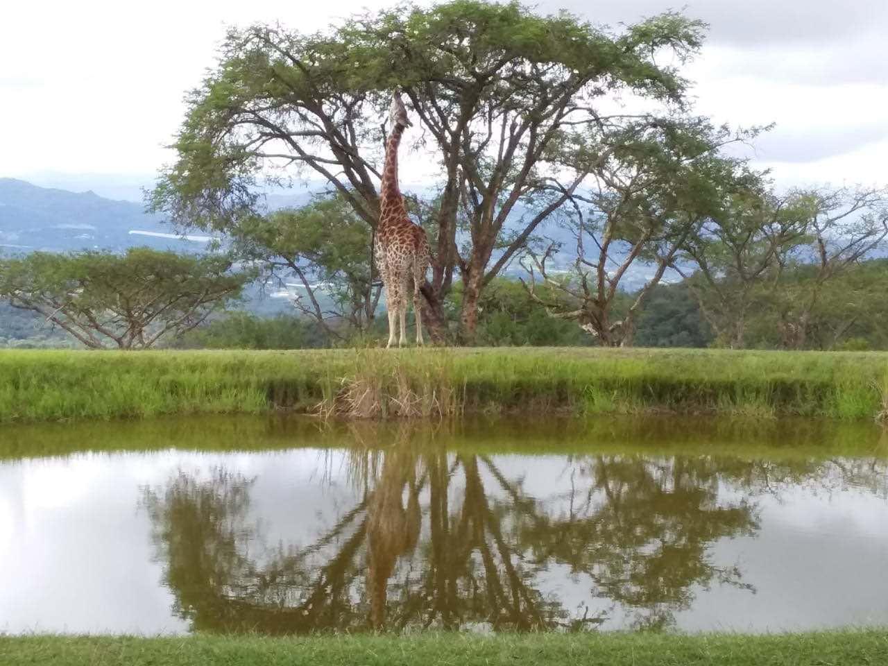 Giraffe_Muluwa_Lodge_Mpumalanga_WhiteRiver