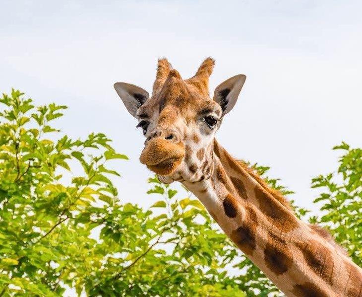 Giraffe-face-southafrica