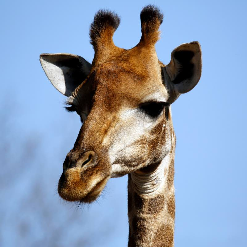Giraffe-ossicones-close-up