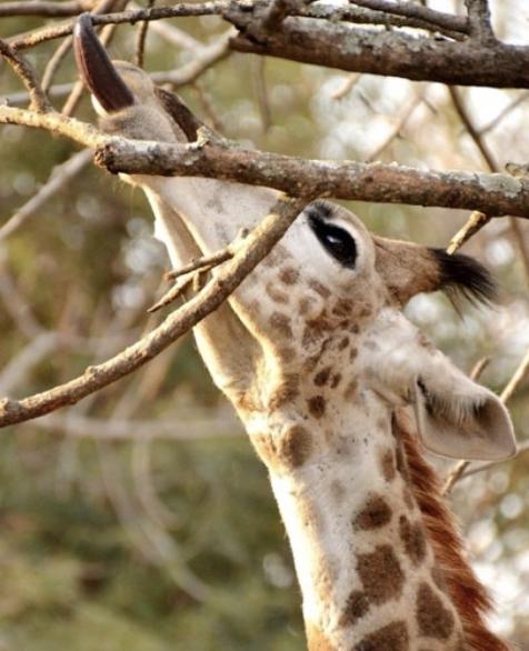 Giraffe-tongue-southafrica