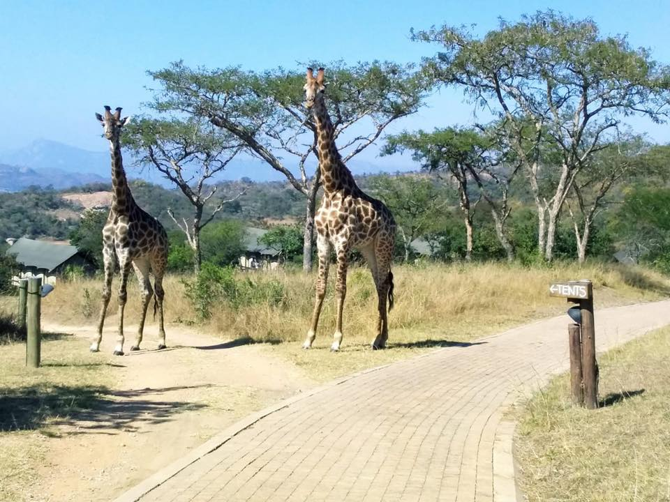 Giraffes-muluwa-lodge-luxury-safari-tents