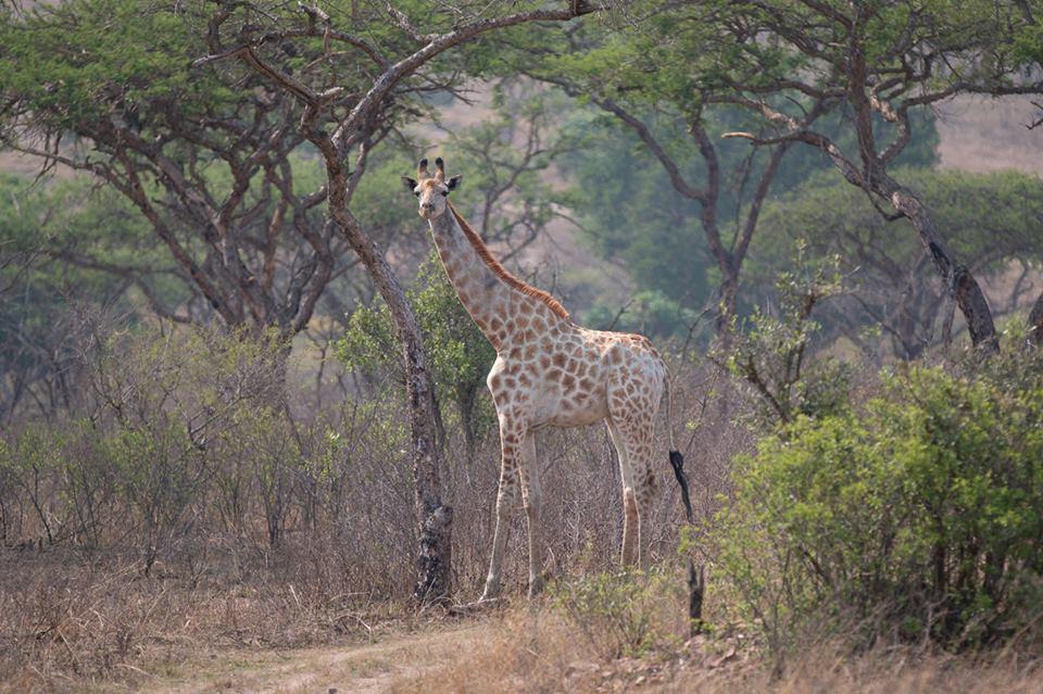 giraffe-muluwa-lodge-southafrica